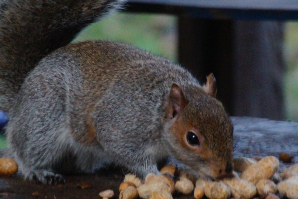 Squirrel choosing a nut