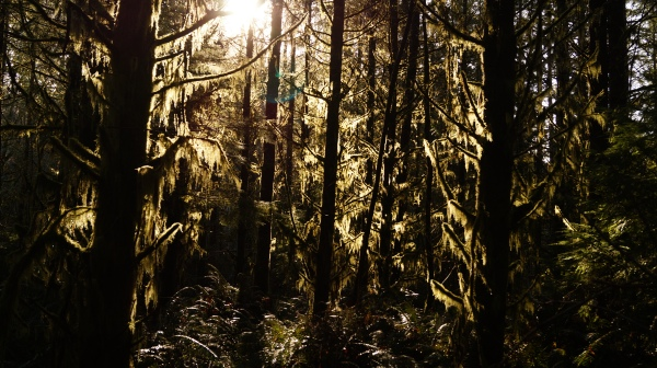 The sun comes through the moss covered trees