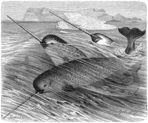 A pod of narwhals