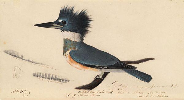 800px-Houghton_MS_Am_21_(50)_-_John_James_Audubon,_belted_kingfisher