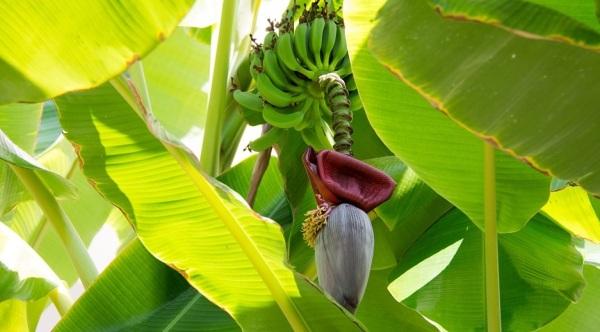banana-981176_960_720