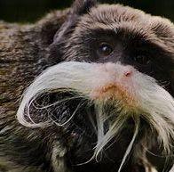 monkey stache