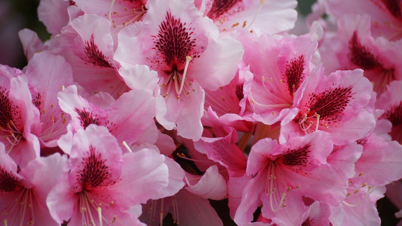 photograph of rhododendron