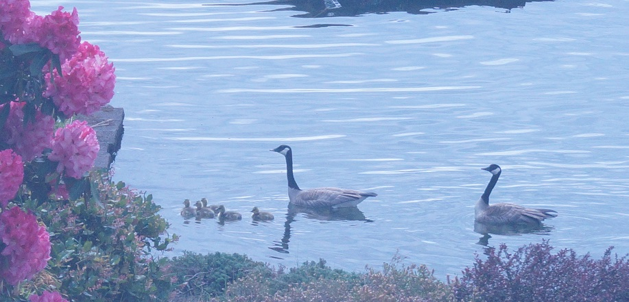 fresh goslings
