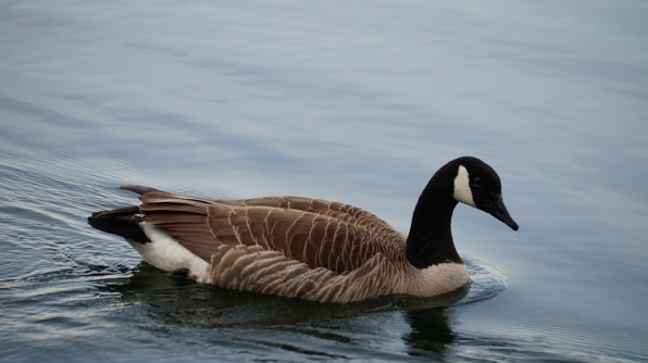 goose with droplet of water off beak