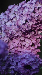 lilacs close-up
