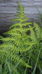 little fern in the grass