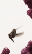 ooo hummingbird two