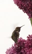 ooo hummingbird
