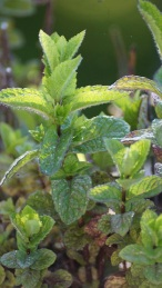 the veins and hairs on mint leaves