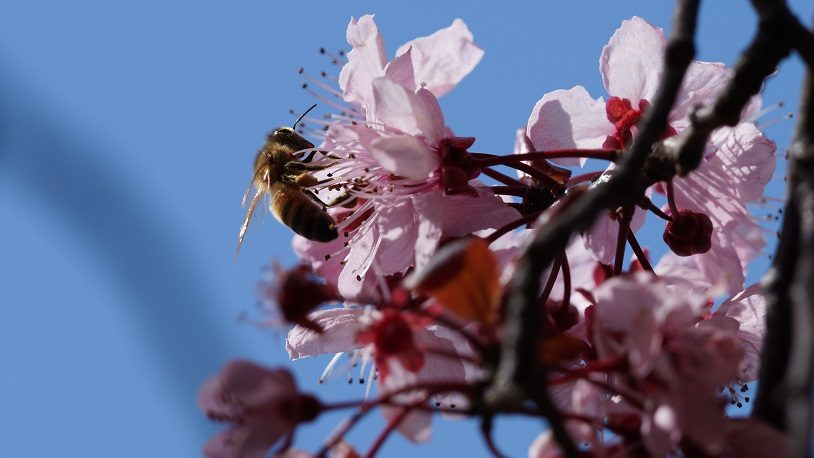 A bee pollinates a light pink cherry-plum blossom against a blue sky