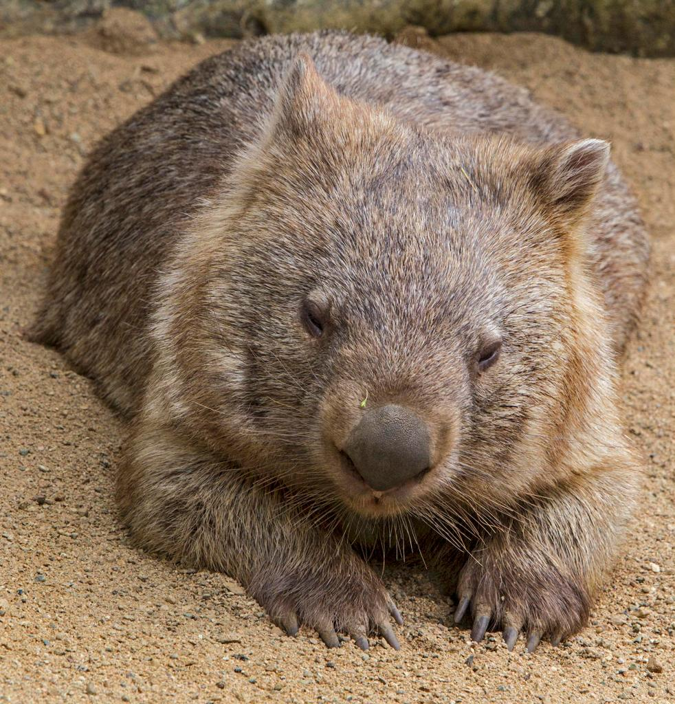 a wombat in contemplation