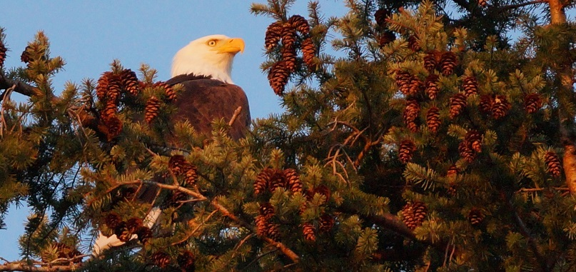 An eagle near the top of a fir tree surrounded by cones.