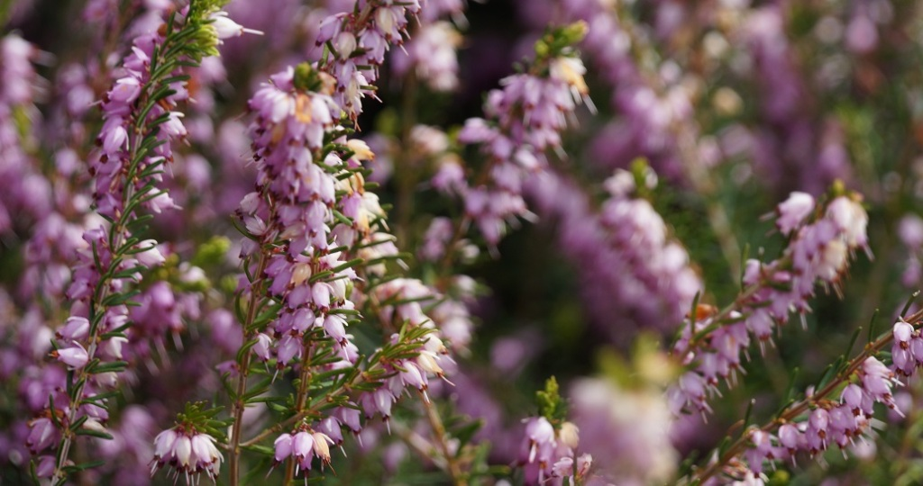 A close-up of purple heather flowers