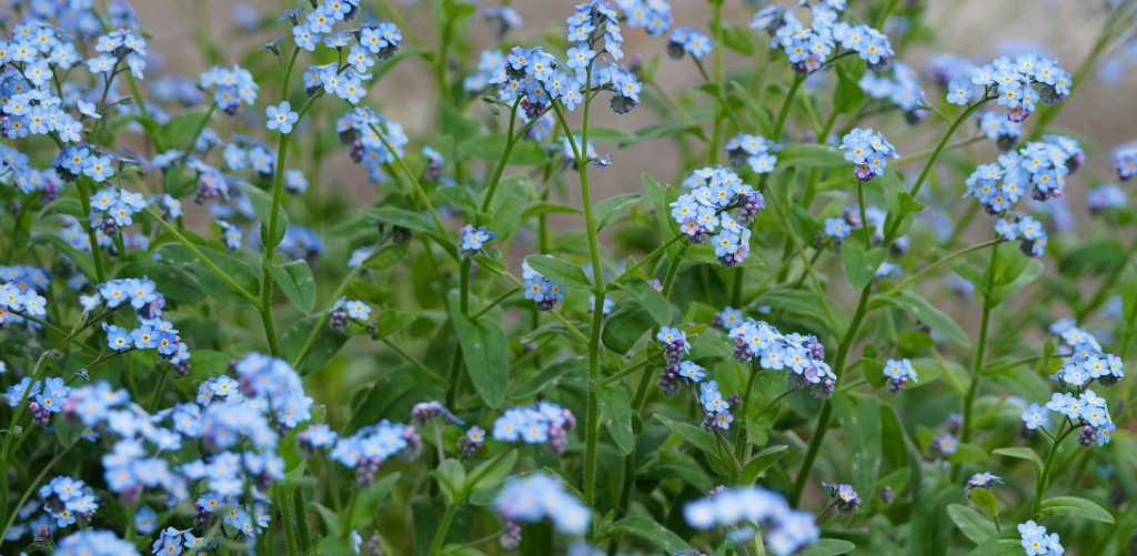 A cluster of tiny blue wildflowers