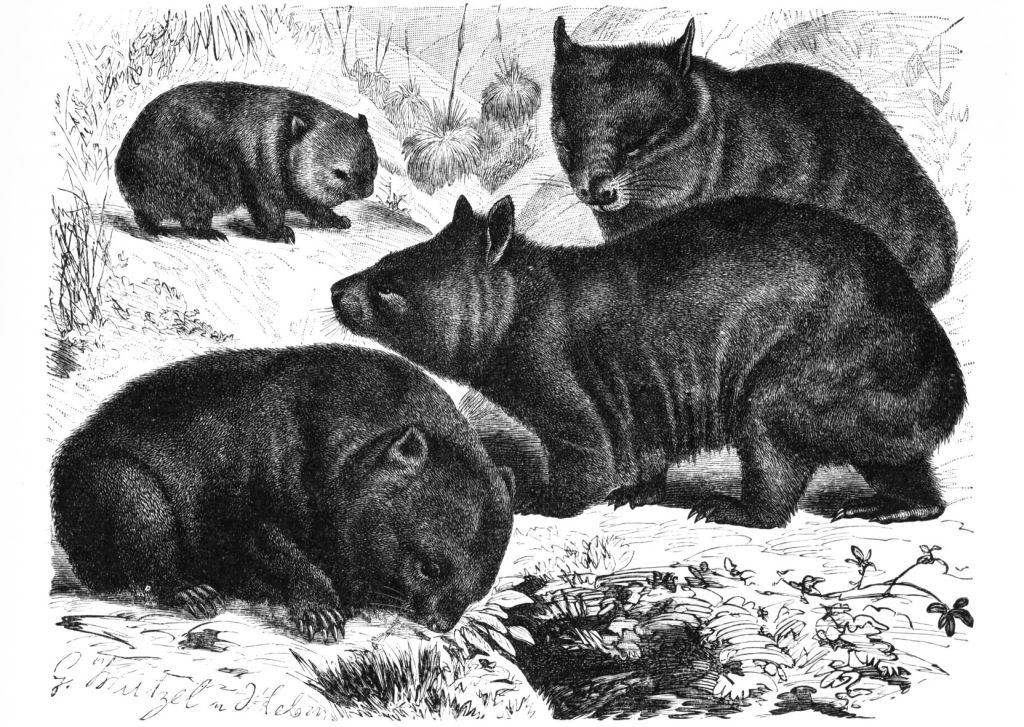 A drawing of a wisdom of wombats