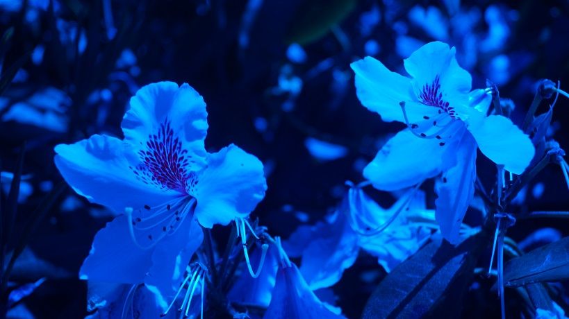 image of rhododendrons through a blue lens
